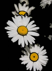 Daisies without background