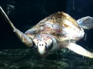 Sea Turtle at Aquarium - Luci H - 14