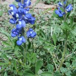 Andrew DeHaven - Bluebonnets - photography - 6