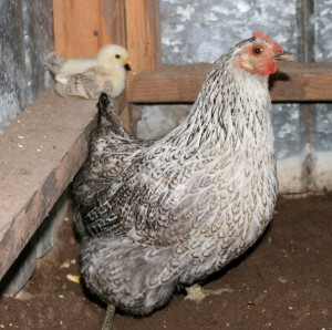 Andrew DeHaven - Mama Hen and Chick - photography - 7