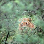 Jake, 13, Lion in the Bush, photography